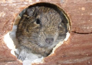 Degus love their house, but tend to shape it as they see fit