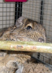 The degus love Willow sticks