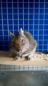 George is an attentive degu who will answer to his name.