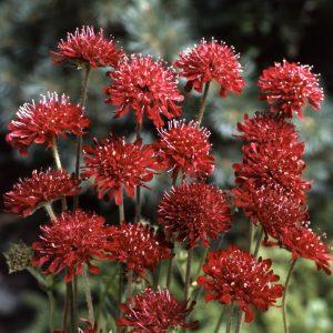 Hardy Perennial