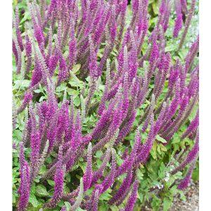 Aromatic Foliage